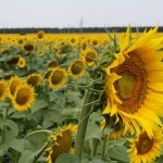 The first thing we saw: fields and fields and fields of sunflowers.